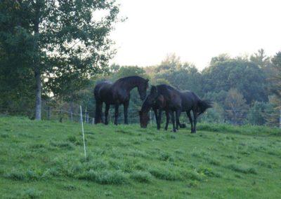 friesians-in-fields